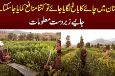 Pakistan Me Chai Ka Bagh Lagaya Jaye Tou Kitna Profit Ho Sakta Hai? Interesting Information