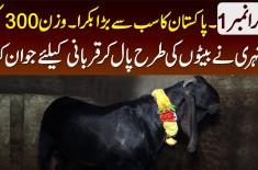 Bakra No.1 - Pakistan Ka Sab Se Bara Bakra - Wazan 300KG - Shehri Ne Beto Ki Tarah Pal Kar Jawan Kia