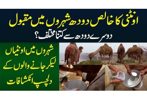 Pure Camel Milk Doosray Milk Se Kitna Different Hai? - Camel Milk Sale Karne Walon Ke Inkishafat