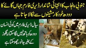 South Punjab Ka Shandar Dairy Farm Jahan Cow Milk Automatic Machine Se Nikala Jata Hai