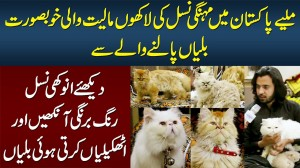 Meet Pakistani Who Own Beautiful Imported Cats In Pakistan - Watch Rear Breed Of Cats & Their Prices