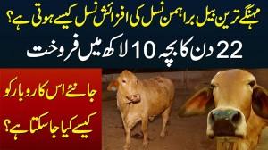 Brahman Cow Ki Breeding Kese Hoti Hai? Kitna Milk Deti Hai Aur Kitne Me Sale Hoti Hai?