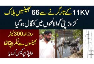 Crorepati Gawala Kangal Ho Gaya - 66 Bhainsain Bijli Lagne Se Halak - WAPDA Per Case Kar Dia