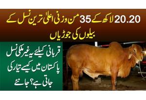 20 20 Lakh Ke 35 Mun Wazni Cows - Qurbani Ke Liye Ye Nasal Kese Pali Jati Hai?