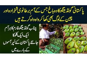 Chanab Gold Mango Farm Jiska Har Aam 1 KG Ka - British Prince Aur Chinese Bhi Wah Wah Karne Lagay