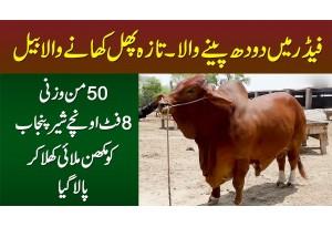 Feader Me Doodh Pinay Wala Taza Phal Khane Wala - 50 Mun Wazni 8 Foot Oncha Sher E Punjab Bail
