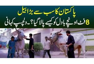 Pakistan Ka Sab Se Bara Bail - 8 Foot Height Ke Badal Ko Kese Paala Gaya? - Interesting Story