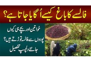 Falsay Ka Bagh Kese Ugaya Jata Hai? Aurtain Aur Bache Hi Kiun Falsa Tortay Hain? Interesting Story