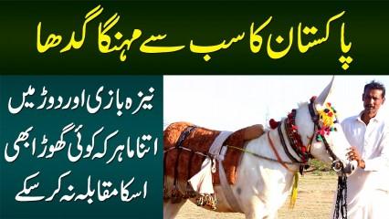 Pakistan Ka Sab Se Mehnga Gadha - Race Aur Neza Bazi Me Ghora Bhi Iska Muqabla Nahi Kar Sakta