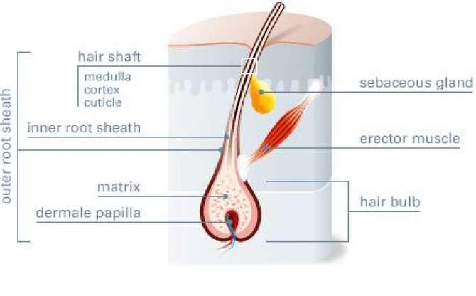 Hair Papilla
