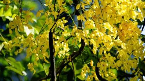 املتاس(Cassia Fistula)